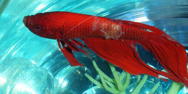 Sick betta fish behavior