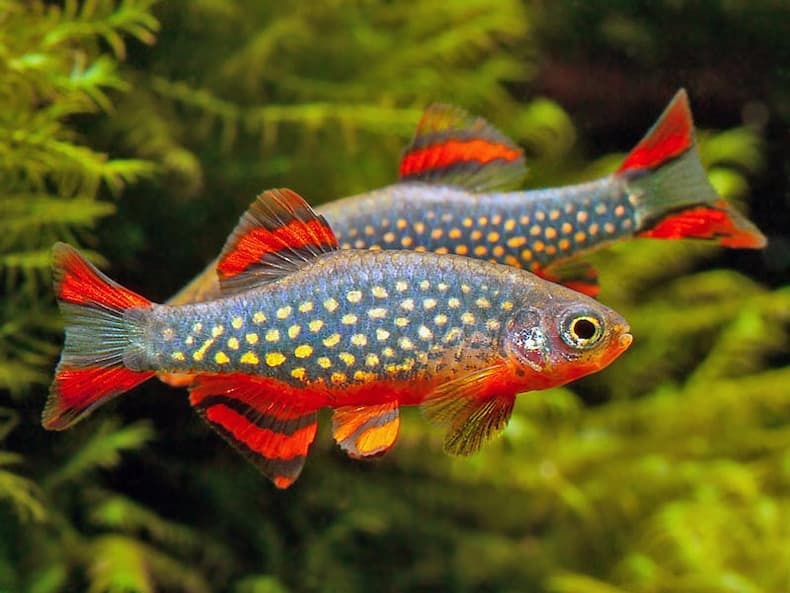 Freshwater aquarium fish types with pictures