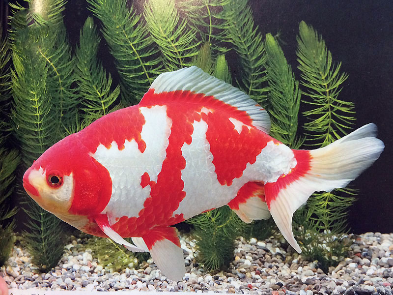 33 Different Types of Goldfish Breeds  Identification Guide
