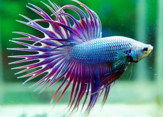 02-3.Crowntail-Betta-double-ray