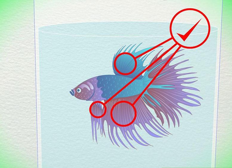 Определение возраста по внешним особенностями (признакам) петушков (Бойцовых рыбок Бетта)