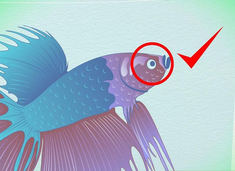 Определение возраста поразмеру плавников петушков (Бойцовых рыбок Бетта)