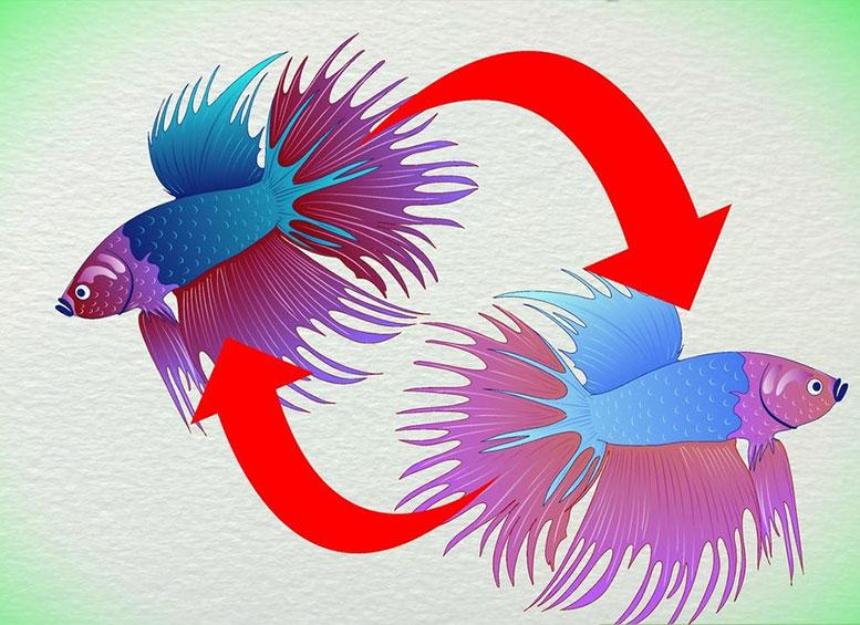 Определение возраста поцвету петушков (Бойцовых рыбок Бетта)