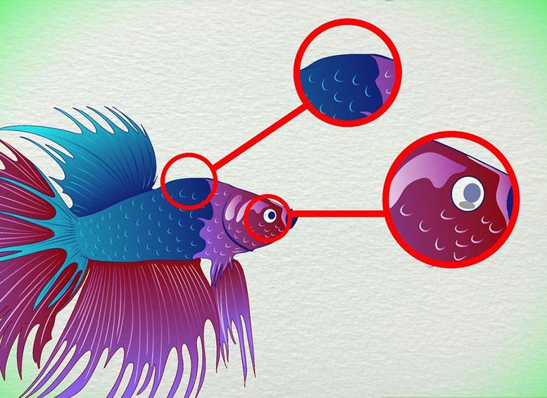 Типичные признаки, характерные старой Бойцовой рыбке