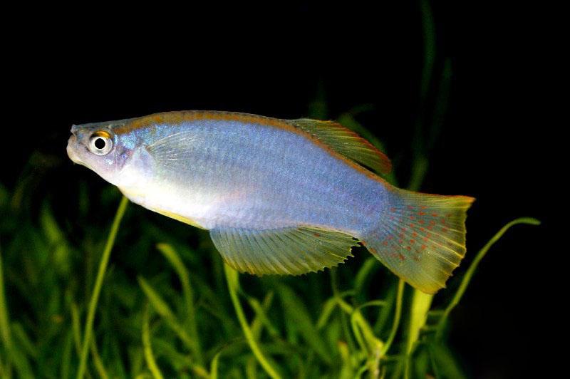 Ниге�ий�кий или Пе�елива��ий�я Лампоглазик procatopus