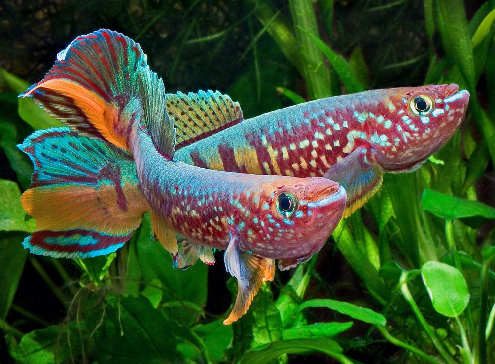 Рыбки для аквариум в домашних условиях