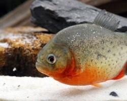 В аквариуме умирают рыбки - 5 шагов что бы этого избежать