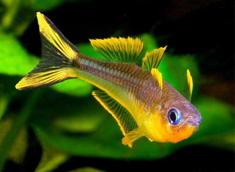 рыба синеглазка фото