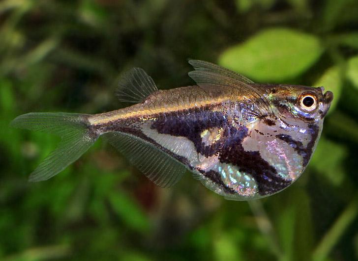 Рыба топор