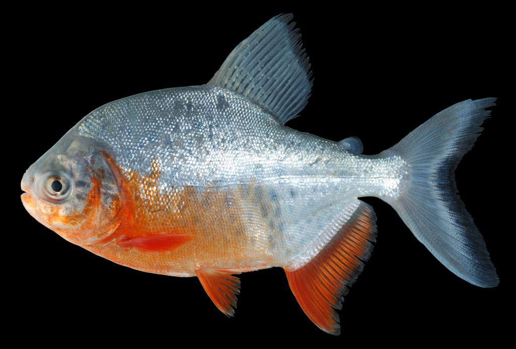 https://www.aqvium.ru/images/fish-new/characins/77-Piaractus-brachypomus/77-1-Piaractus-brachypomus.jpg