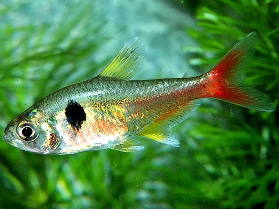 Для, аквариумные рыбки мирные картинки название описание