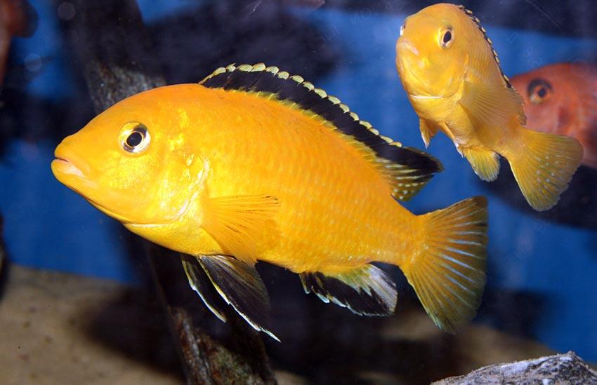 фото рыбка цихлида