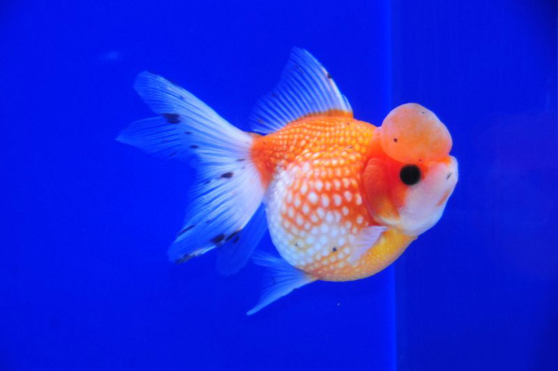Золотая рыбка «Жемчужина с короной» (Crown Pearlscale ...