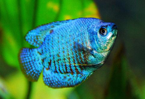 neon blue dwarf gourami - 1280×640