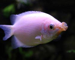 гурами рыбки фото