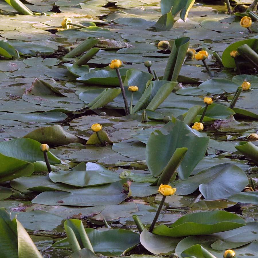 картинки речное растение кубышка финала поющих