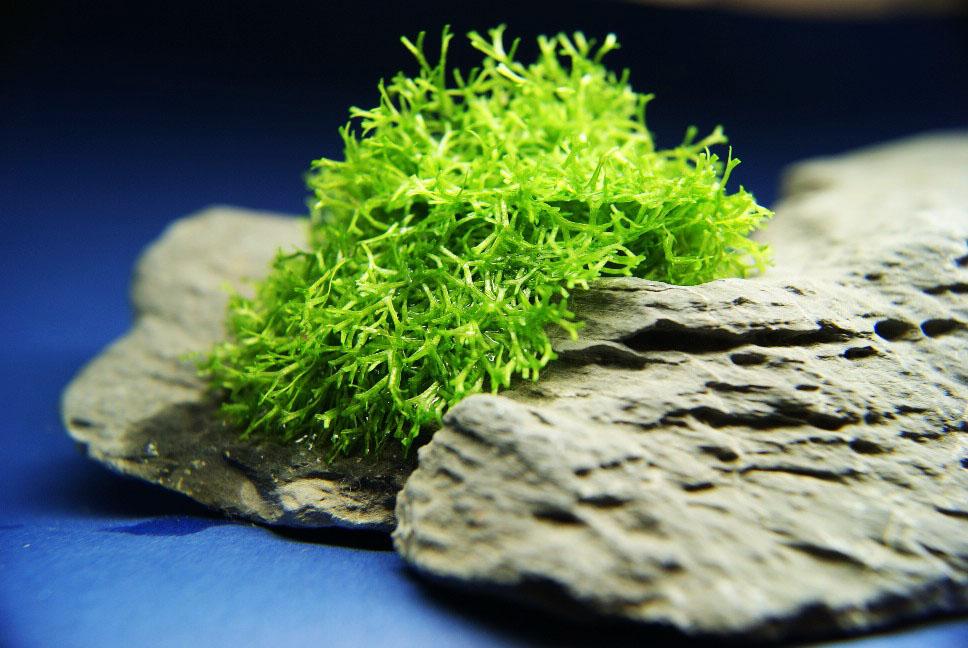 водоросли риччия фото того