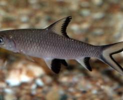 Акулий бала
