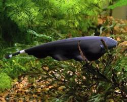 Чёрный рыба-нож