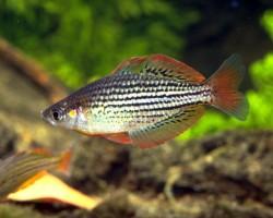 Радужная рыбка