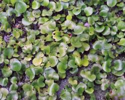 Лимнобиум губчатый