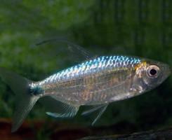 Голубая Тетра
