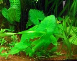 Нимфея зелёная