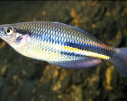Ново-Гвинейская Радужница