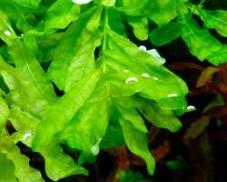 Людвигия зелёная
