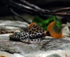Леопардовый Плекостомус