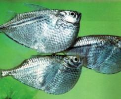 Рыба-топорик