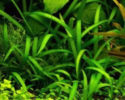 Сагиттария карликовая