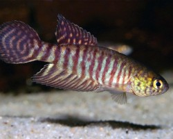 Рыбка Майерса