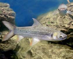 Султанская рыба