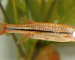 Рыбка Эзомус