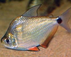 Рыбка-монетка