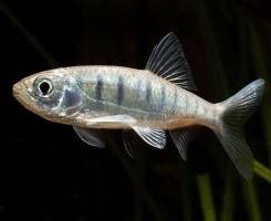 Рыбка Барна