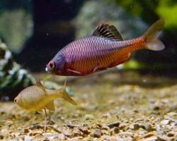Рыбка Горчак