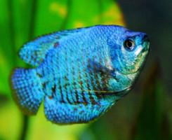 Голубой Лялиус