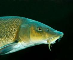 Рыба Марена