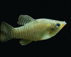 Алмазная рыбка Килли