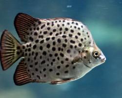 Рыбка Аргус