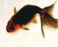 Яйцевидная Золотая рыбка