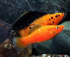 Рыбка-парусник