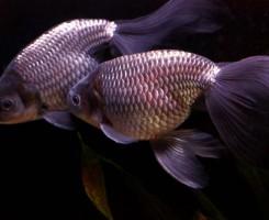 Золотая рыбка «Феникс»