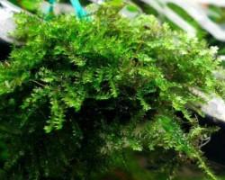 Королевский мох
