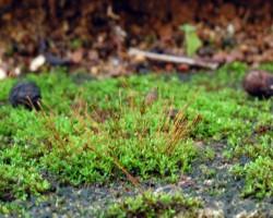 Звёздный мох