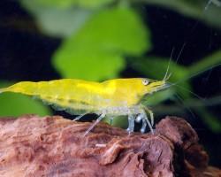 Жёлтая креветка