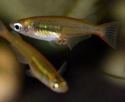 Рисовая рыбка