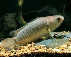 Рыба-ползун
